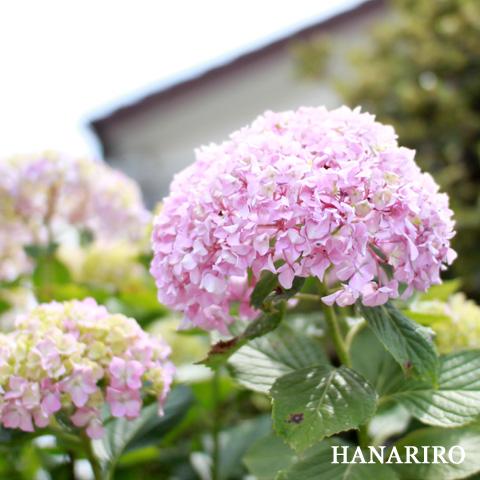 20100614 p1 紫陽花(アジサイ)が綺麗な季節になってきましたね。(^^♪