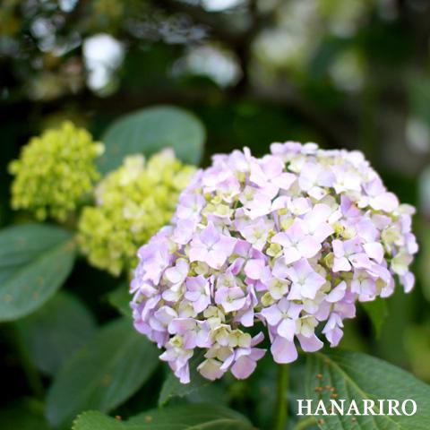 20100614 p2 紫陽花(アジサイ)が綺麗な季節になってきましたね。(^^♪