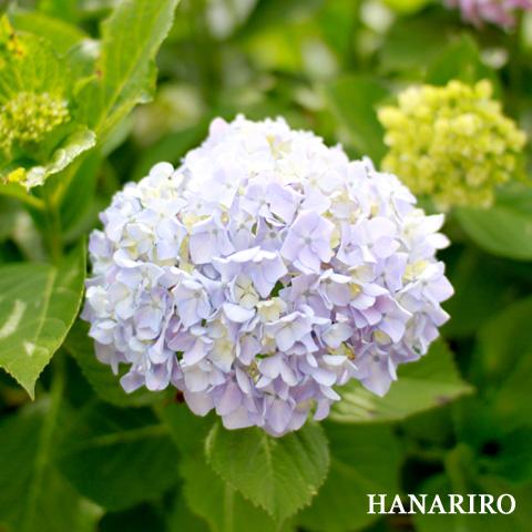 20100614 p3 紫陽花(アジサイ)が綺麗な季節になってきましたね。(^^♪