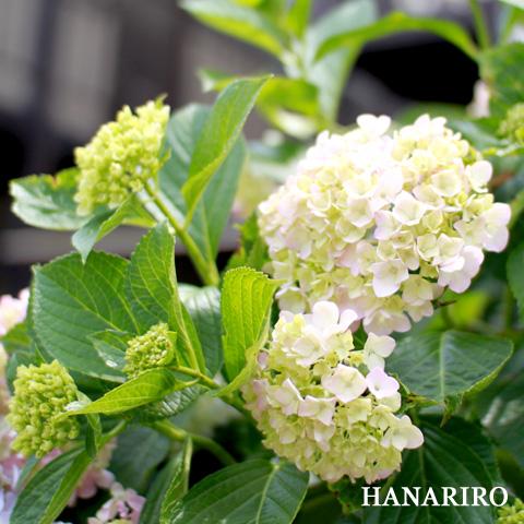20100615 p1 今日も紫陽花(アジサイ)です。(^^♪