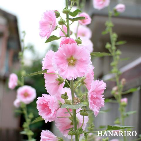 20100622 p1 アオイのお花。。。(^^♪