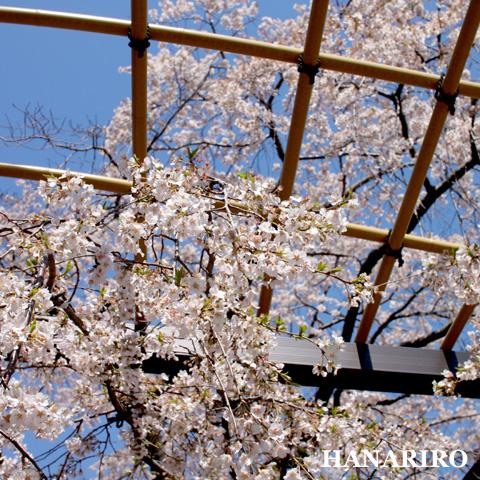 20110406 p1 しだれ桜。。。